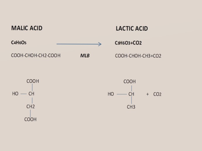 what is Malolactic fermentation